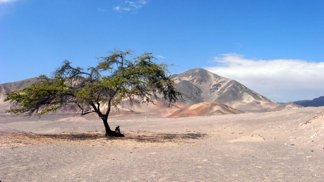 Tree in Nazca desert